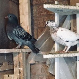 Sibling Pigeons For Sale